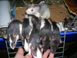 Foto 3 Herzige Rattenkinder (geb. KW 45)