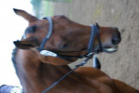 Foto 3 Hessisches Warmblut sucht neuen Turnier oder Familien Reiter