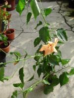 Foto 2 Hibiscus sinensis