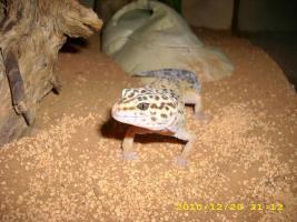 Foto 3 High Yello Weibchen abzugeben