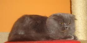 Highland Fold katze sucht dringend neues liebevolle Zuhause