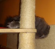 Foto 7 Highland Fold katze sucht dringend neues liebevolle Zuhause