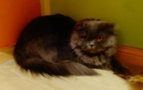 Foto 8 Highland Fold katze sucht dringend neues liebevolle Zuhause