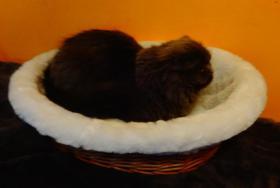 Foto 9 Highland Fold katze sucht dringend neues liebevolle Zuhause
