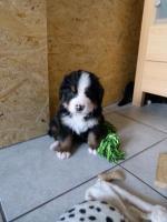 Foto 6 Hobbyzucht für reinrassige Berner Sennenhunde