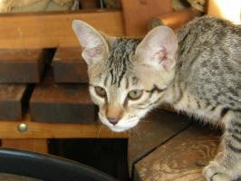 Foto 4 Hobbyzucht vergibt 3 niedliche Katzenbabys F7 SBT (SAVANNAH)