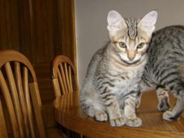Foto 5 Hobbyzucht vergibt 3 niedliche Katzenbabys F7 SBT (SAVANNAH)