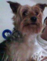 Hochbeiniger kinderlieber und verschmuster Yorkshire Terrier Rüde