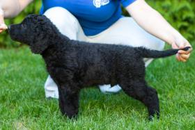 Hoffnungsvoller Welpe Curly Coated Retriever mit Papiere