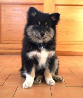 Hoffnungsvoller verschmuster Finnischer Lapphund