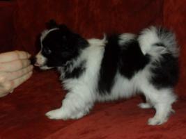 Foto 4 Hohe Qualität, schöne PAPILLON Hundewelpen zu verkaufen
