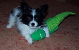 Foto 5 Hohe Qualität, schöne PAPILLON Hundewelpen zu verkaufen