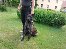 Holl�ndischer Sch�ferhund