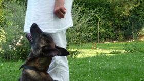 Hollandse Herder Hündin, 5 Monate, Enkelin v. Fleisch(VPG, IPO)