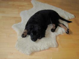 Foto 5 Hovawart Welpen aus HD/ ED freier Linie, in blond, schwarz und sm, liebevolle Hobbyzucht!