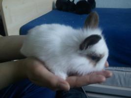 Foto 2 Hübsche Kaninchenbabys abzugeben