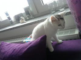 Foto 2 Hübsche, 8 Monate alte Maine Coon Mix Katze sucht neues, liebevolles Zuhause!