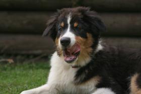 Foto 2 Hübscher Australian Shepherd Junge