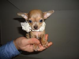 Hund Chihuahua