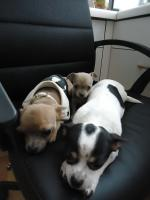 Foto 2 Hund Chihuahua
