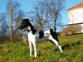 Hund ( Foxterrier glatthaar)