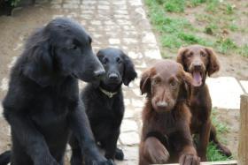 Hunde (Flat Coated)