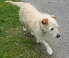 Foto 3 Hunde Opi Bobby sucht ein neues Zuhause
