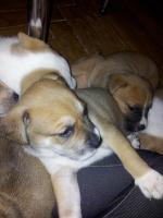 Foto 4 Hunde Welpen Stafford