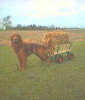 Foto 2 Hunde-Zubehör und hübscher Rüde