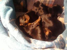 Foto 2 Hunde Zu verkaufen