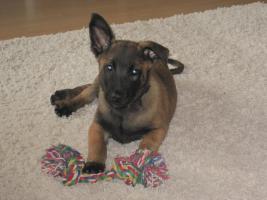 Hundebetreuung für Malinoi Welpen