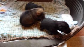 Foto 3 Hundemischlingswelpen abzugeben