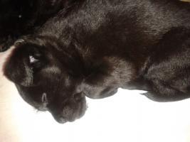 Foto 3 Hundewelpen