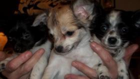 Foto 2 Hundewelpen