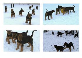 Foto 2 Hundewelpen Airedale - Terrier