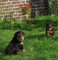 Foto 3 Hundewelpen Airedale - Terrier