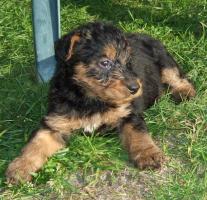 Foto 4 Hundewelpen Airedale - Terrier
