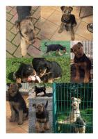 Foto 5 Hundewelpen Airedale - Terrier