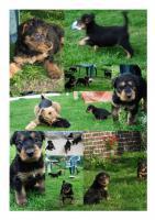Foto 6 Hundewelpen Airedale - Terrier