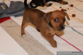 Foto 2 Hundewelpen zu verkaufen