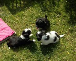 Foto 3 Hundewelpen  Bolonka Zwetna