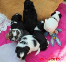 Foto 4 Hundewelpen  Bolonka Zwetna
