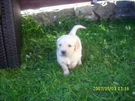 Hundewelpen, Golden Retriver- reinrassig