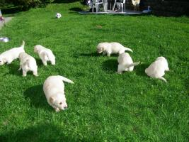 Foto 2 Hundewelpen, Golden Retriver- reinrassig