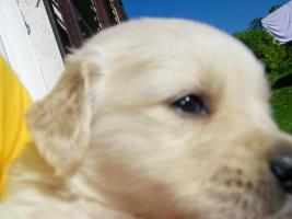 Foto 3 Hundewelpen, Golden Retriver- reinrassig