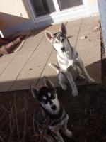 Huskies zu vergeben - nur als Paar.