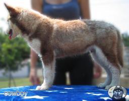 Foto 3 Husky Rude aus Top Verpaarung
