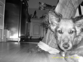 Foto 3 Husky-Schäferhund-Collie-Mix