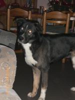 Husky-Schäferhund Mischling