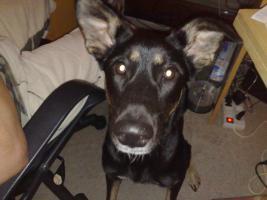 Foto 3 Husky-Schäferhund-Setter   MIX